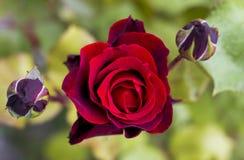 A Rosa vermelha Foto de Stock
