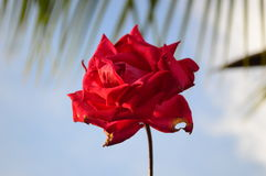 A Rosa vermelha imagem de stock