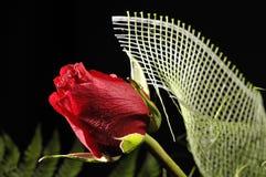 Rosa vermelha bonita isolada Fotografia de Stock Royalty Free