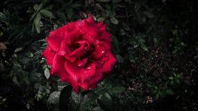 Rosa vermelha bonita nas gotas da chuva, agitando dentro o vento vídeos de arquivo