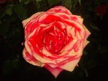 Rosa vermelha com destaques cor-de-rosa fotos de stock
