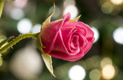 Rosa vermelha com fundo de Bokeh Imagem de Stock Royalty Free