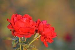 Rosa vermelha com luz solar completa fotos de stock royalty free
