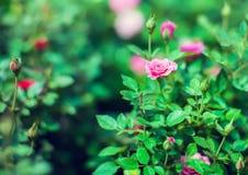 A rosa vermelha da miniatura da cascata produziu de mini rosas vermelhas Imagens de Stock