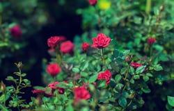 A rosa vermelha da miniatura da cascata produziu mini rosas vermelhas Fotos de Stock Royalty Free