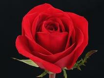 Rosa vermelha de encontro ao preto Fotos de Stock