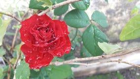 Rosa vermelha de florescência após a chuva fotografia de stock