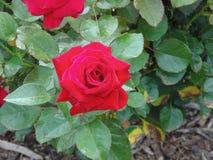 A rosa vermelha do amor fotografia de stock