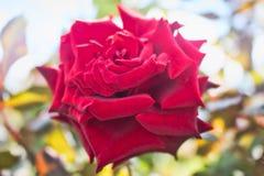 Rosa vermelha do amor atrasado fotografia de stock