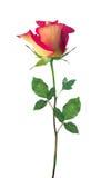 Rosa vermelha e amarela isolou-se Fotografia de Stock