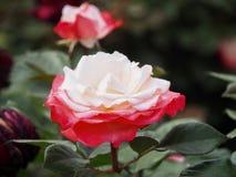 Rosa vermelha e branca, ?nica flor fotos de stock