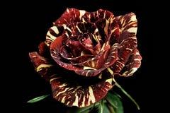 Rosa vermelha e branca Imagem de Stock Royalty Free