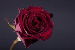 Rosa vermelha e gotas no fundo escuro Foto de Stock Royalty Free