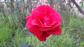 Rosa vermelha em campos verdes Imagem de Stock