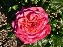 Rosa vermelha em Parnell Rose Garden, Auckland, Nova Zel?ndia fotos de stock