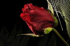 Rosa vermelha fresca bonita Foto de Stock Royalty Free