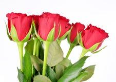 Rosa vermelha isolada Foto de Stock Royalty Free