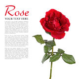 Rosa vermelha isolou-se Foto de Stock Royalty Free