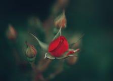 A rosa vermelha mágica sonhadora feericamente bonita dos carmesins floresce no fundo verde obscuro desvanecido Fotografia de Stock