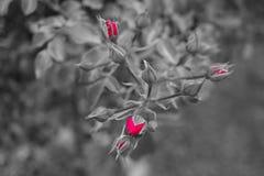 Rosa vermelha não ainda florescida, fundo no branco preto fotografia de stock