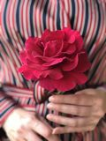 Rosa vermelha na flor completa nas mãos fotografia de stock royalty free