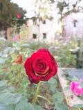 Rosa vermelha no palácio de Topkapi fotografia de stock