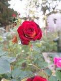 Rosa vermelha no palácio de Topkapi fotos de stock