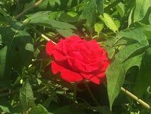 Rosa vermelha no pico Imagem de Stock