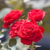 Rosa vermelha no ramo no jardim Imagens de Stock Royalty Free