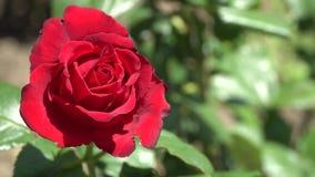 Rosa vermelha no ramo O fundo é fora de foco Imagens de Stock