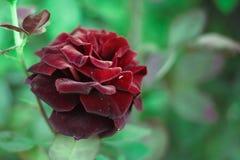 Rosa vermelha no verde imagens de stock
