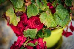 Rosa vermelha pequena bonita, após a chuva, fim acima Fotos de Stock Royalty Free