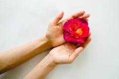 Rosa vermelha perfeita nas mãos no fundo branco fotos de stock royalty free