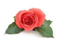 Rosa vermelha romântica isolada bonita Fotos de Stock Royalty Free