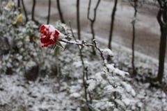 Rosa vermelha sob a neve fotografia de stock royalty free