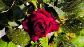 Rosa vermelha traz o amor e romance fotografia de stock