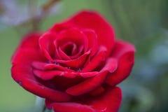 Rosa vermelha vívida com gotas de orvalho imagem de stock royalty free