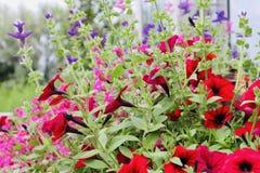 Rosa vermelho bonito e flores de florescência crescentes roxas fotos de stock royalty free