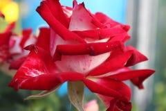 rosa Vermelho-branca Fotografia de Stock Royalty Free