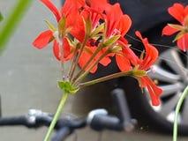 Rosa vermelho da mola da flor de Geranien fotografia de stock royalty free