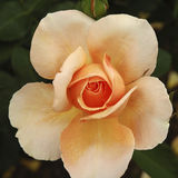 Rosa verniciata Fotografia Stock