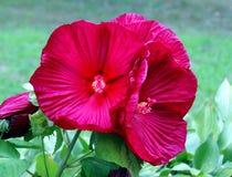 Rosa vibrante de sharon Foto de Stock Royalty Free