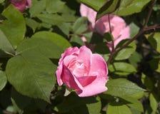 Rosa vibrante di rosa Immagini Stock Libere da Diritti