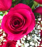 Rosa vibrante do rosa Imagens de Stock Royalty Free