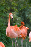 rosa vienna för flamingo zoo Royaltyfri Bild
