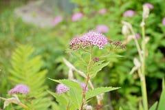 Rosa vildblommor och grönt gräs Royaltyfri Bild