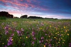 Rosa vildblommor på solnedgången arkivbild