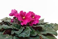 rosa violet Arkivfoton