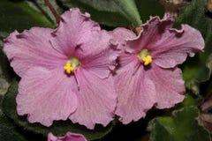 rosa violet Arkivbilder