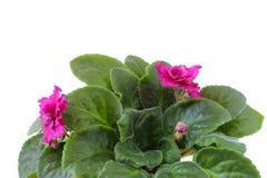 Rosa violets på en vit bakgrund Royaltyfri Fotografi